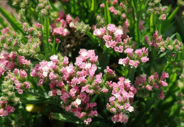 Агастахе, лофант или многоколосник выращивание из семян посадка и уход виды с фото и описанием