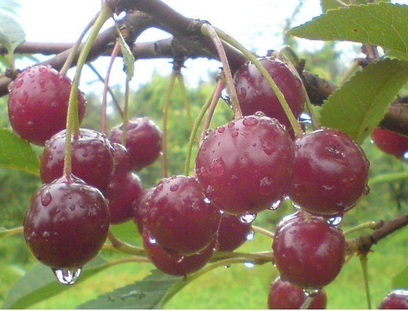 Основные сорта вишни морель