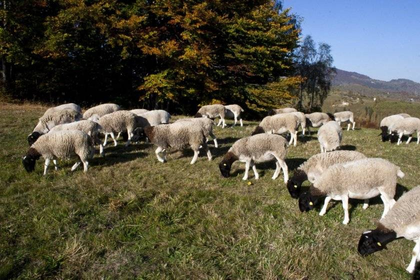 Какие виды продукции получают от овцеводства и что является наиболее ценным