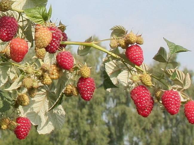 Характеристика и описание малины «брянское диво»