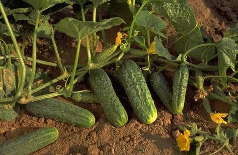 Описание сорта огурцов кибрия f1 — особенности выращивания
