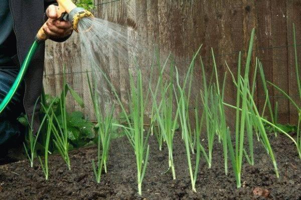 Все о поливе лука после посева в открытый грунт: нужно ли поливать, и как часто