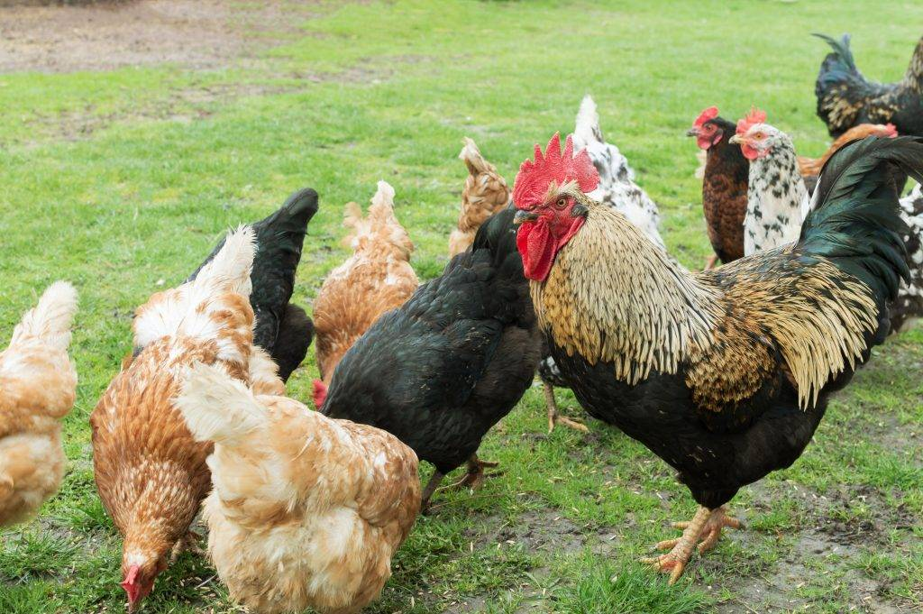 Как и в каком возрасте петух оплодотворяет курицу