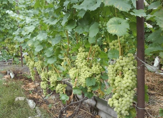 Выращивание винограда супер экстра — что это за гибридный сорт?