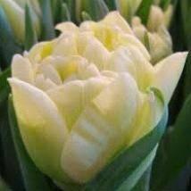 Ранние сорта тюльпанов