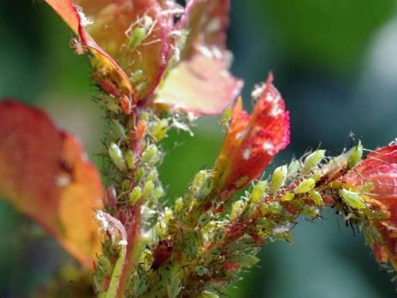 Спасаем розы от тли! 10 способов избавиться от вредителя на розах народными средствами