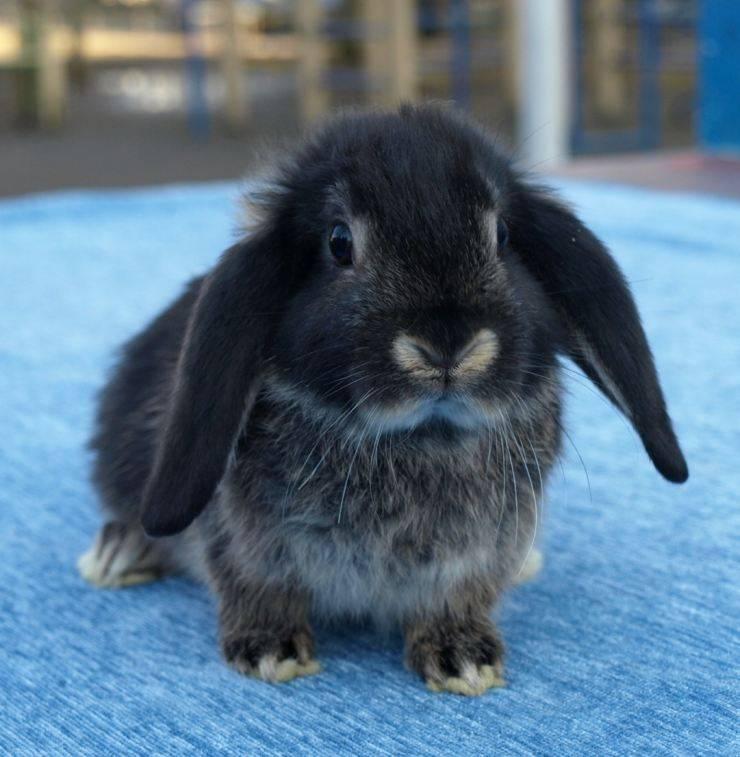Карликовый баран кролик: содержание и перспективы разведения