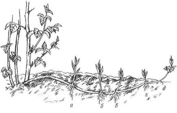 Способы размножения малины в домашних условиях