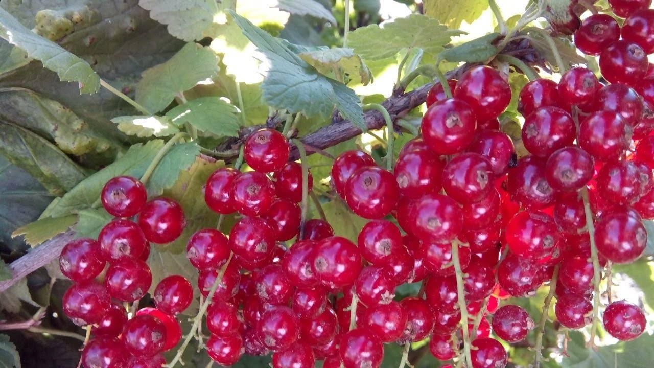 Сладкие и крупноплодные сорта черной смородины: описание сортов по сроку созревания