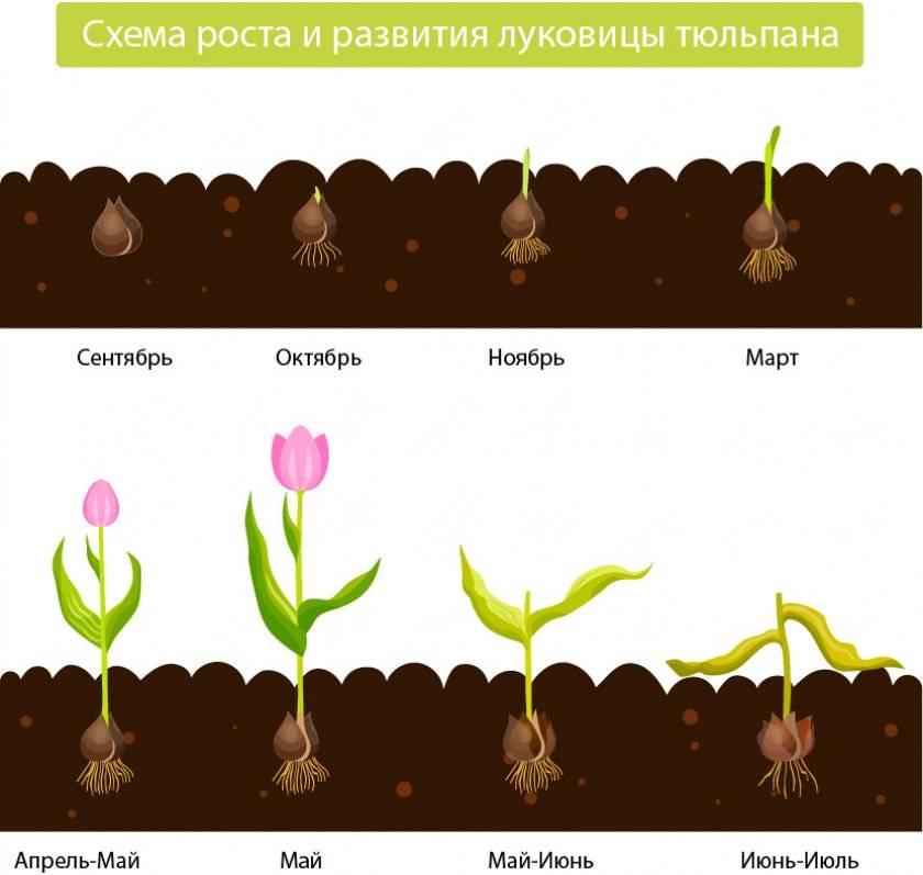 Размножение тюльпана. сорта тюльпана. посадка и уход