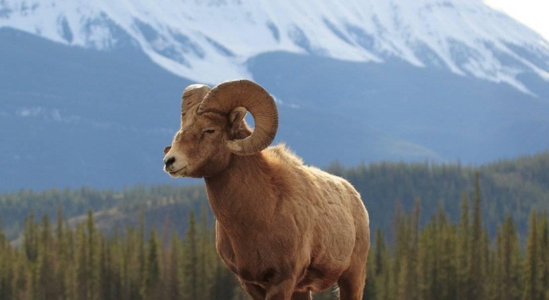 Кодню защиты животных: уникальные животные алтая, которых надо знать «влицо»