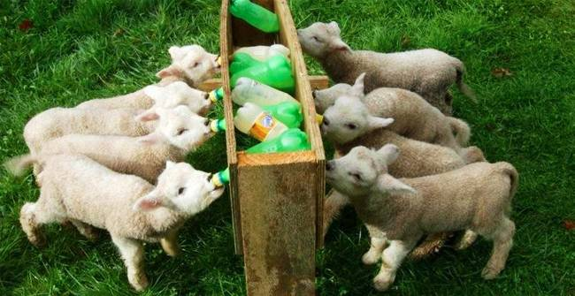 Признаки и разновидности ценуроза у овец, методы лечения и профилактика