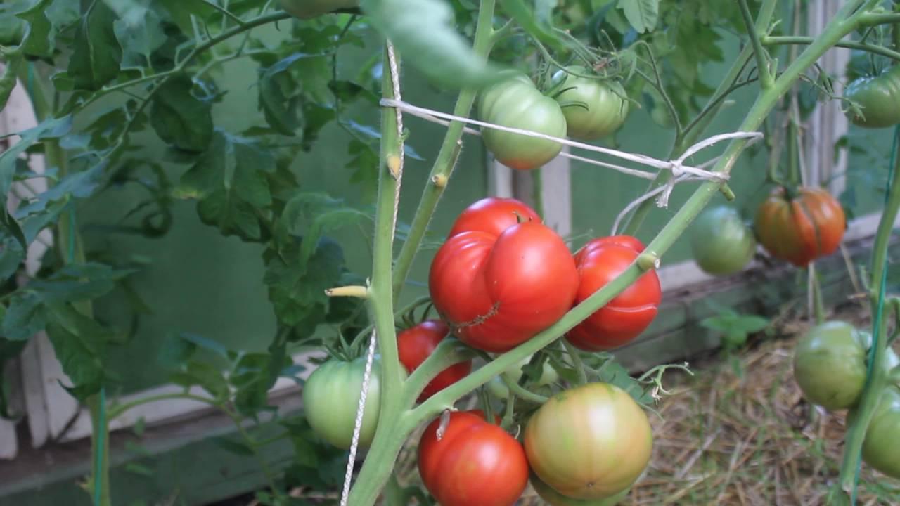Маленькие помидоры с сахарным вкусом — томат f1 «настя сластена»
