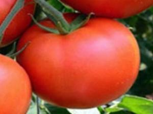 «великие» томаты — екатерина, владимир и александр