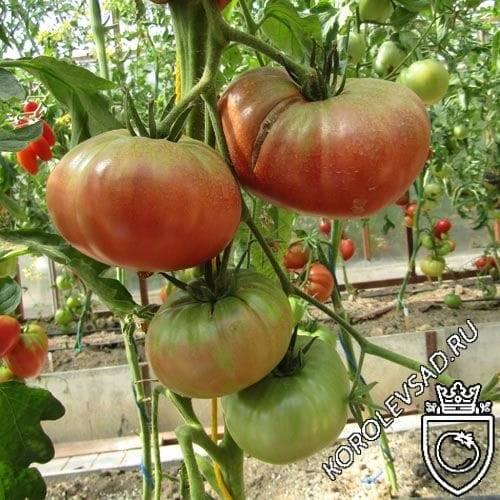 Особенности выращивания помидоров аметистовая драгоценность