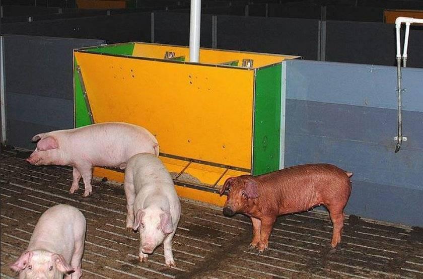 Какие бывают и как самостоятельно сделать кормушку для свиней