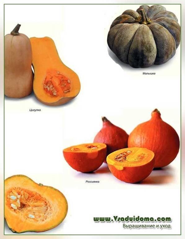 Описание сорта тыквы Каравай, особенности выращивания и урожайность