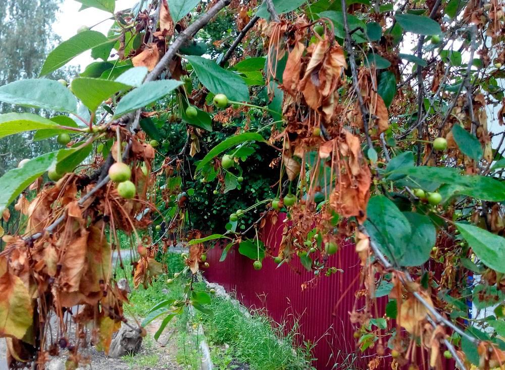Причины монилиального ожога вишни и виды его лечения