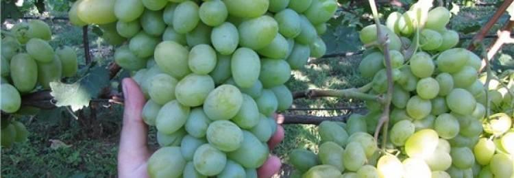 Описание сорта винограда «заря несветая»