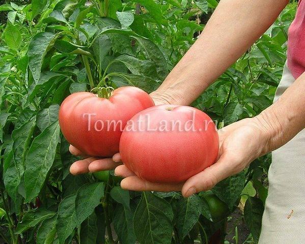 Томат «желтый гигант»: сладкий с длительным плодоношением