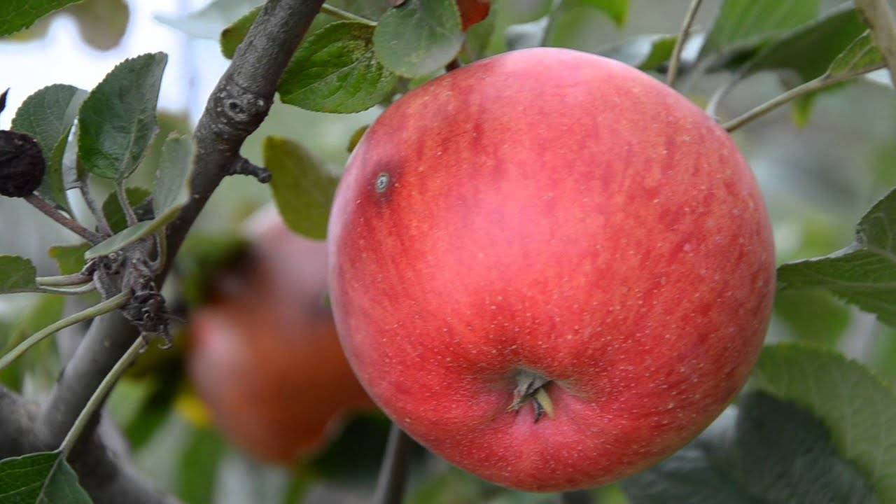Сорт яблони оранжевое фото и описание сорта
