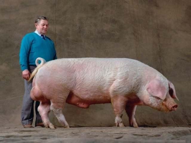 Порода свиней йоркшир описание содержание и уход