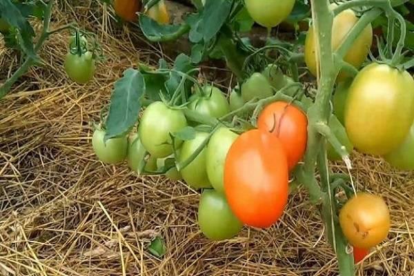 Особенности выращивания томата толстый джек