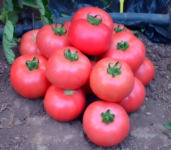 Описание сорта томата Эля, особенности выращивания и ухода