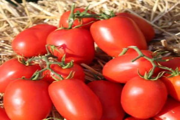 Описание сорта томата Дино f1, особенности выращивания и урожайность