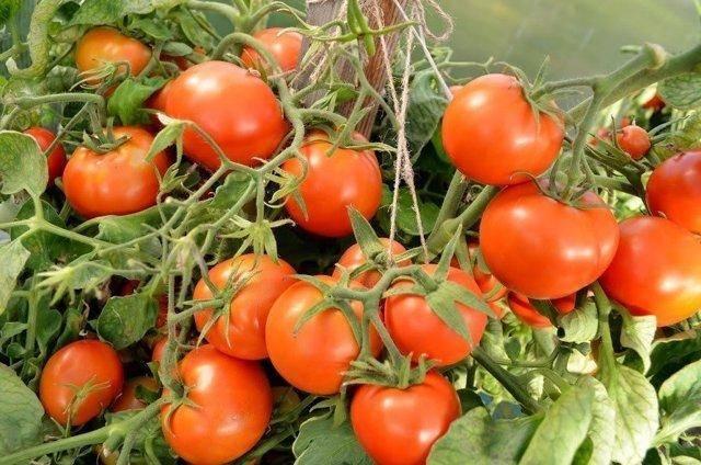 Характеристика и тонкости выращивания томата дачник