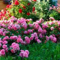 Что посадить рядом с розами на клумбе