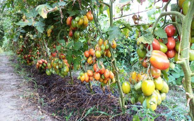 Как и чем удобрять томаты? первые и последующие подкормки для рассады помидоров