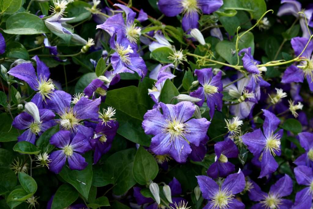 Когда и как посадить клематис в открытый грунт