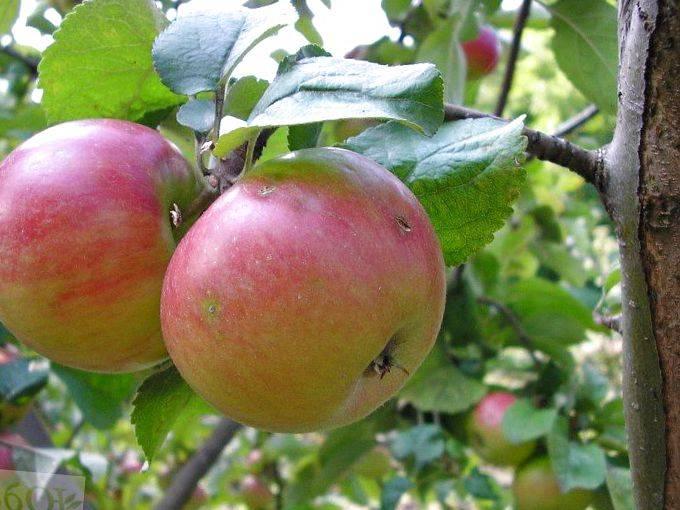 Описание сорта яблони ковровое с размерами