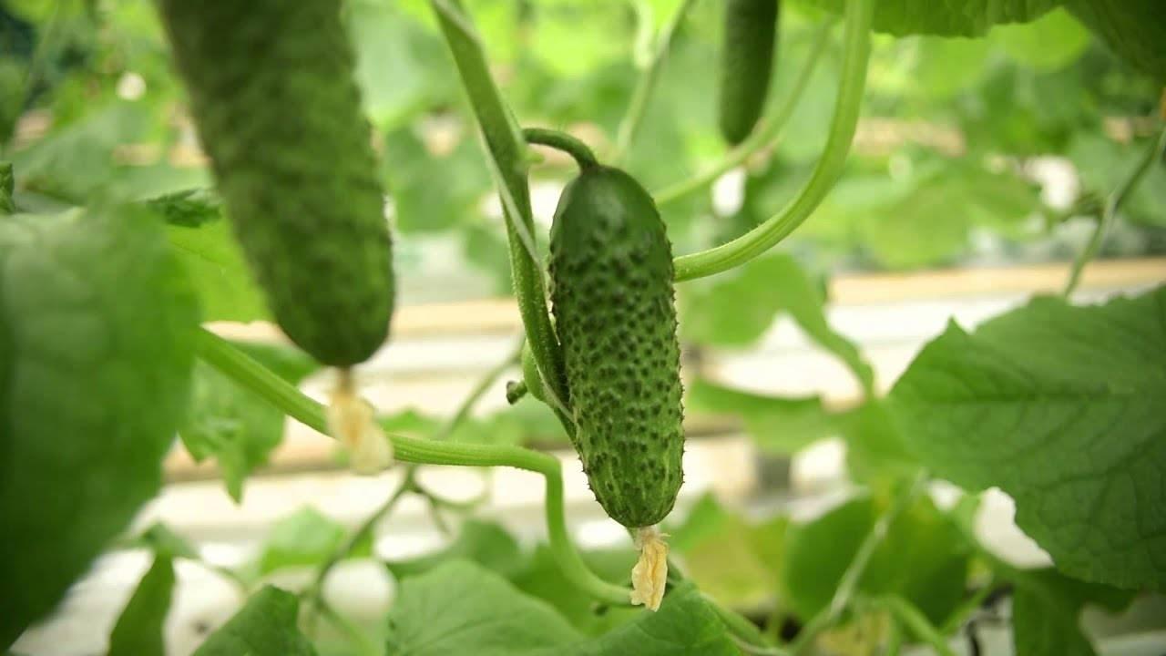 Св 4097 цв – гибридный огурец с лаконичным названием и великолепным качеством плодов