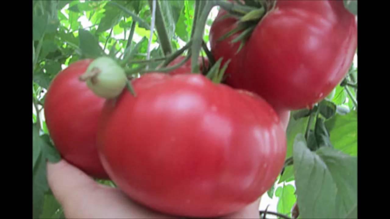 Описание сорта томата суперэкзотик, его характеристика и урожайность