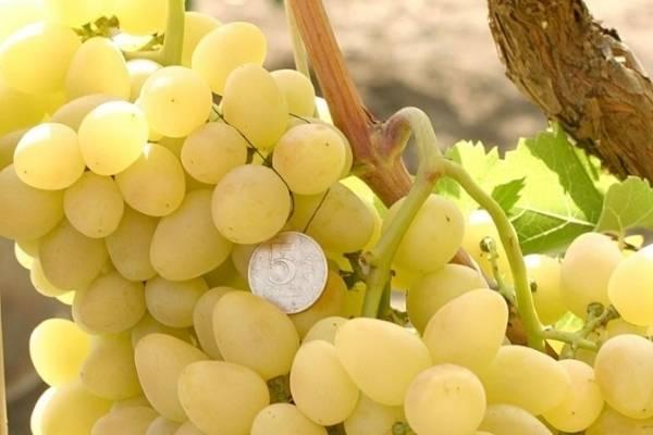 Один из самых продаваемых сортов винограда — «аркадия»
