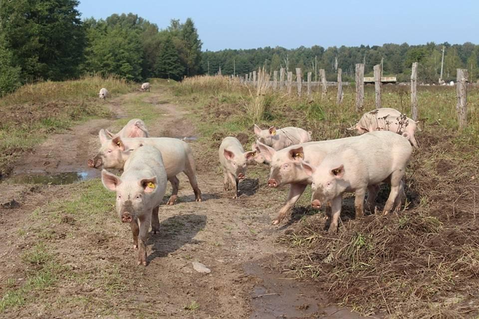Сарай для свиней