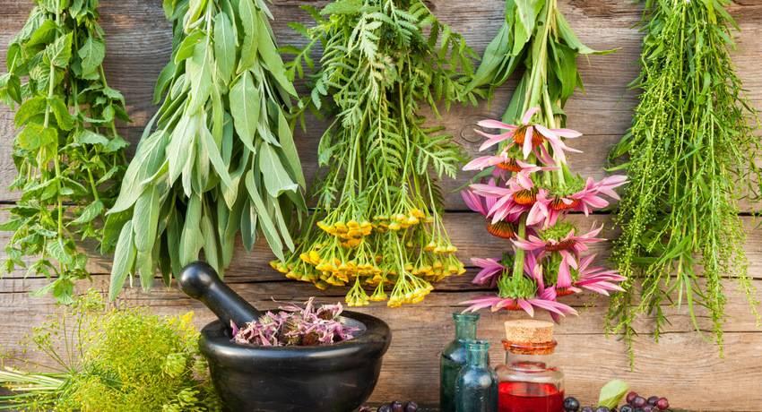 Цикорий – лекарственное растение, полезные свойства