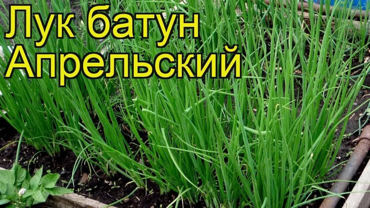Какие сорта многолетнего лука существуют и как правильно его выращивать?