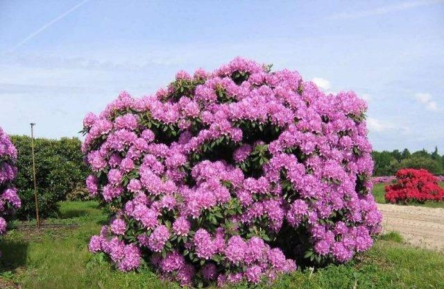 Описание рододендрона сорта розеум элеганс, особенности посадки и ухода