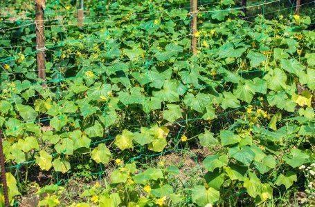 Белые пятна на листьях огурцов: причины появления и методы лечения
