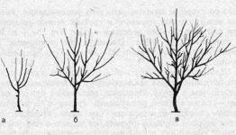 Правила обрезки грецкого ореха и грамотное формирование кроны