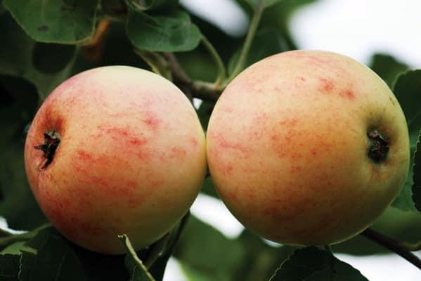 Описание сорта яблони Кутузовец и история выведения, регионы для выращивания