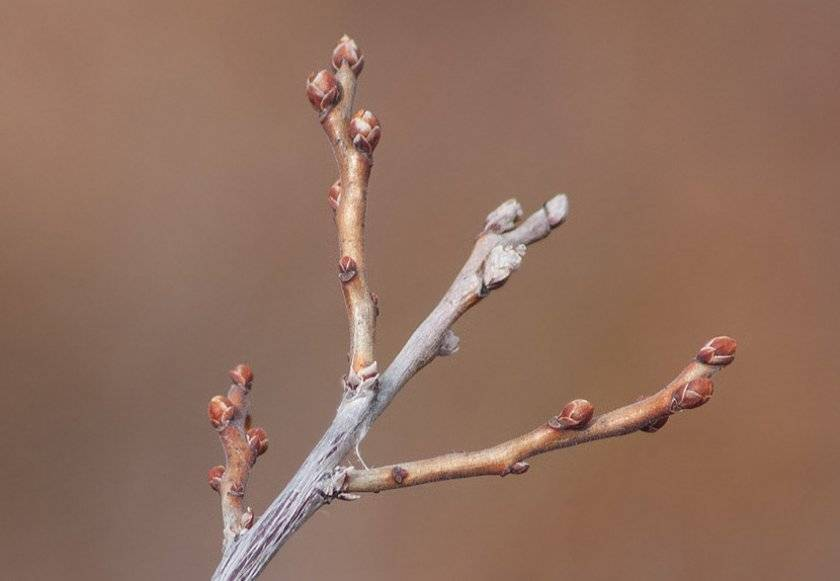 Посадка садовой голубики саженцами в открытый грунт весной