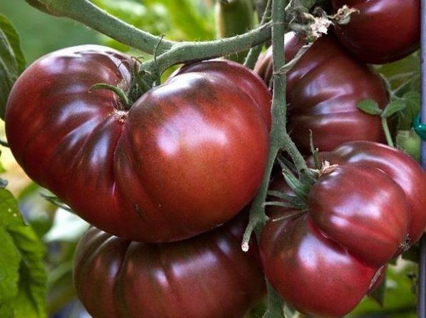 Описание сорта томатов черный принц — характеристика и отзывы
