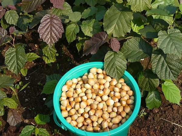 Выращиваем лесной орех (лещину или фундук) в условиях урала и сибири