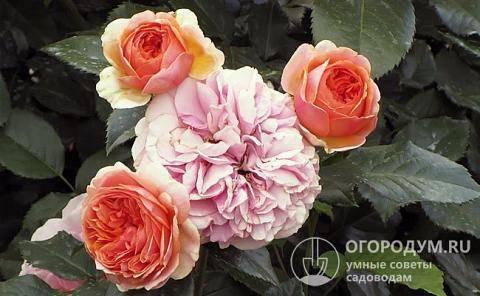 Неприхотливая роза чиппендейл — полная информация о цветке от а до я