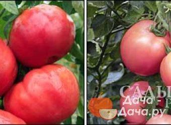 Томаты «малиновое чудо»: урожайные и устойчивые кусты