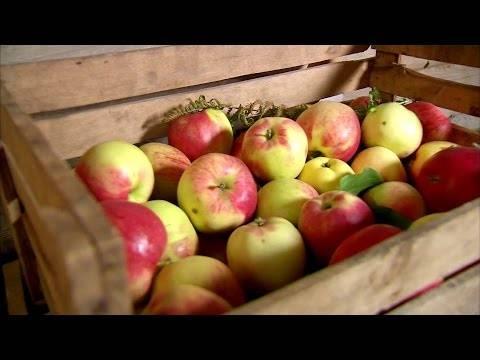 Как сохранить яблоки зимой в квартире?